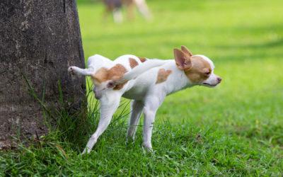 Urine opvangen van je hond: Hoe doe je dat?